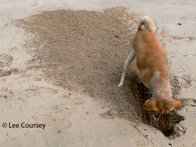 cottrell-e-digging-with-this-dog
