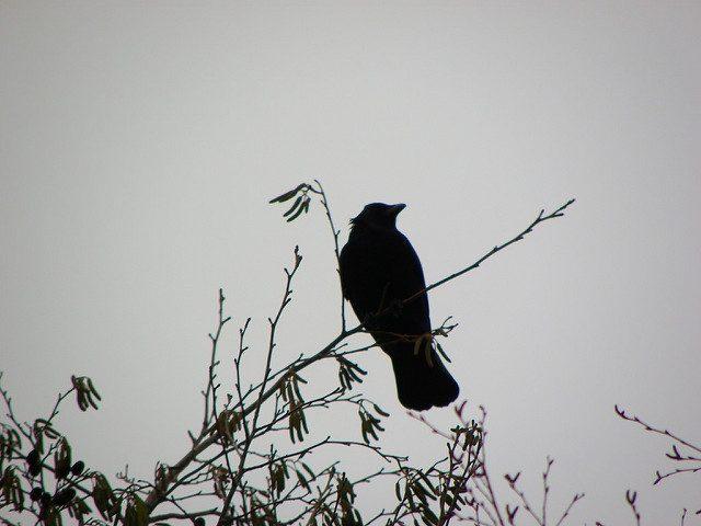 crow-mama