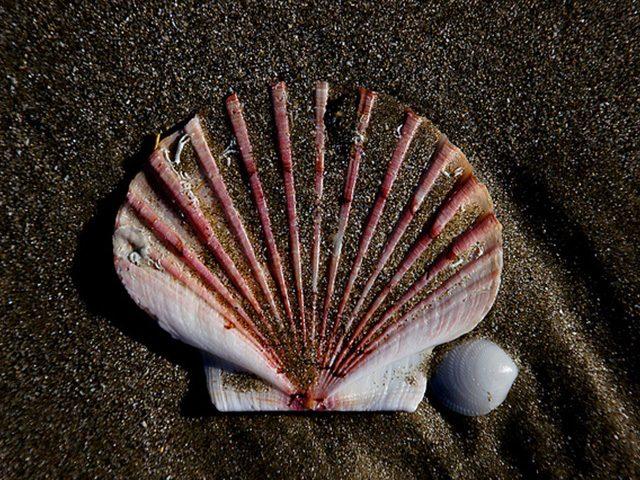 the-solitary-seashell