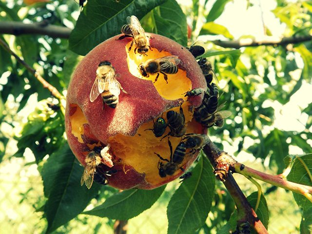 Peach Animal The Bees Macro Insect Nature